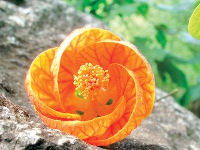 Phuket Gardening – Chinese lanterns | The Thaiger