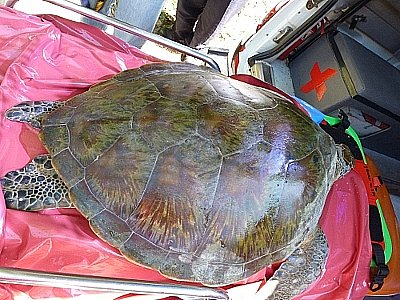 Tourist's keen eye saves green sea turtle | The Thaiger