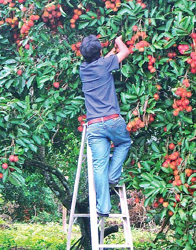 Phuket Gardening: Rambutan – looks and tastes great | The Thaiger