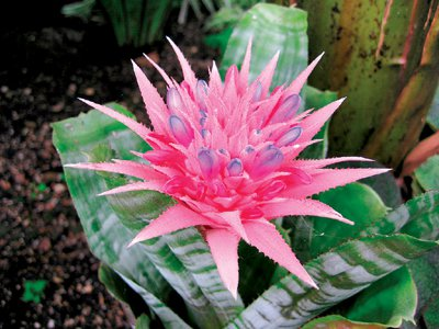 Phuket gardening: Brimming with bromeliads | The Thaiger