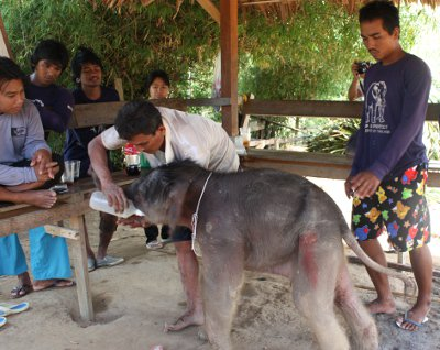 "Phuket welcomes newborn elephant ""Pang Saifon' 
