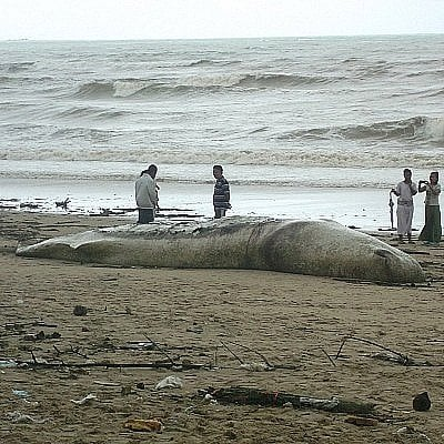 Dead sperm whale washes ashore in Phang Nga | The Thaiger