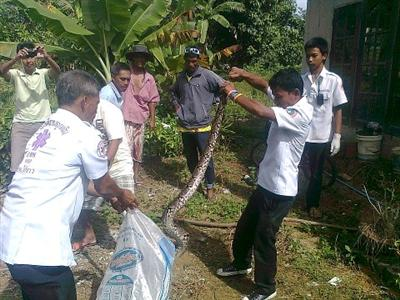 Flood-displaced python prompts panic in Phuket | The Thaiger
