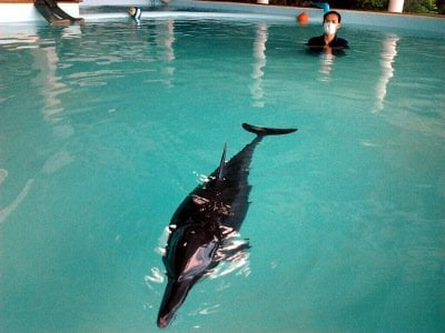 Rescued Phuket dolphin's health improves | Thaiger