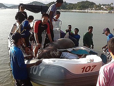 Phuket dugong dies from hit by boat propeller | The Thaiger