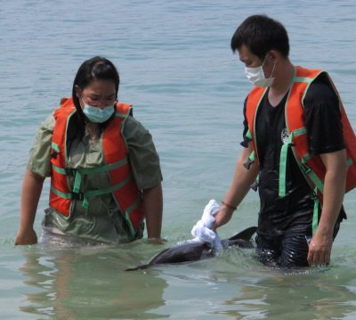 Phuket biologists believe stranded dolphin now safely out to sea | Thaiger