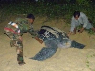 Turtle egg find floats hope of leatherbacks returning to Phuket region | Thaiger