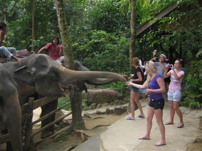 Elephant tragedy victim still in Phuket ICU | The Thaiger