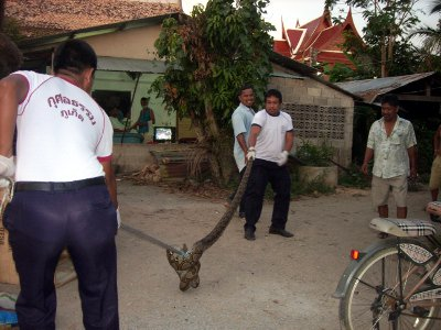 30-kilo python plucked from Phuket village | The Thaiger