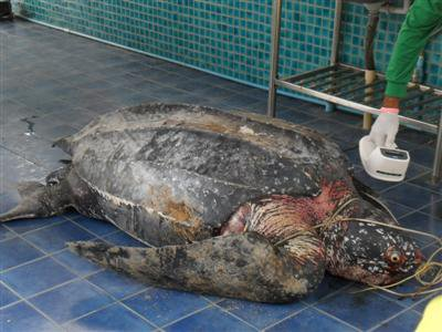 Dead leatherback sea turtle discovered in Phuket | The Thaiger