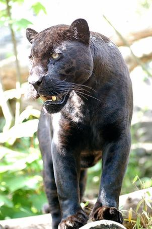Panther on the loose in Chumphon | The Thaiger