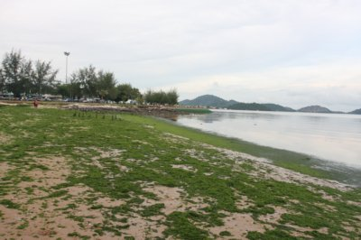Phuket beach gets green carpet | The Thaiger