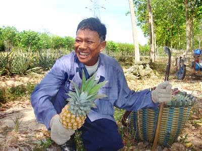 IP listing: Phuket Pineapple gets put in its proper place | The Thaiger