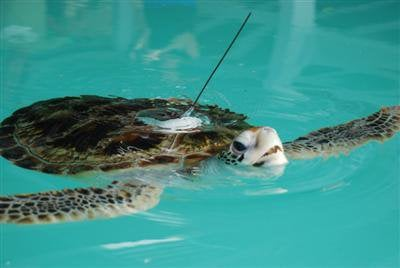 Sea turtles fitted with GPS in Phuket | The Thaiger