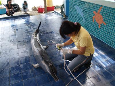 Beached dolphin dies in Phuket | Thaiger