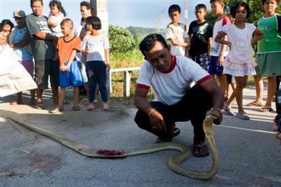 Car crushes cobra in Mai Khao   The Thaiger