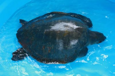 Two more sick turtles found in Phuket | The Thaiger
