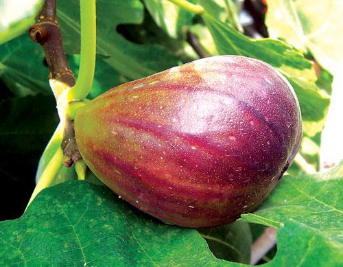 Phuket Gardening – Full of Ficus   The Thaiger