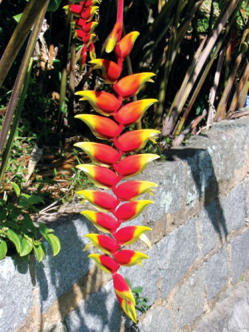 Phuket gardening: Heliconia and hibiscus   Thaiger