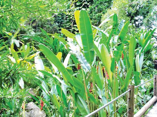 Phuket Gardening: An unkempt piece of paradise | Thaiger