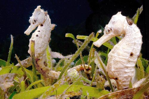Phuket Diving: Seahorse lovers asked to saddle up | The Thaiger