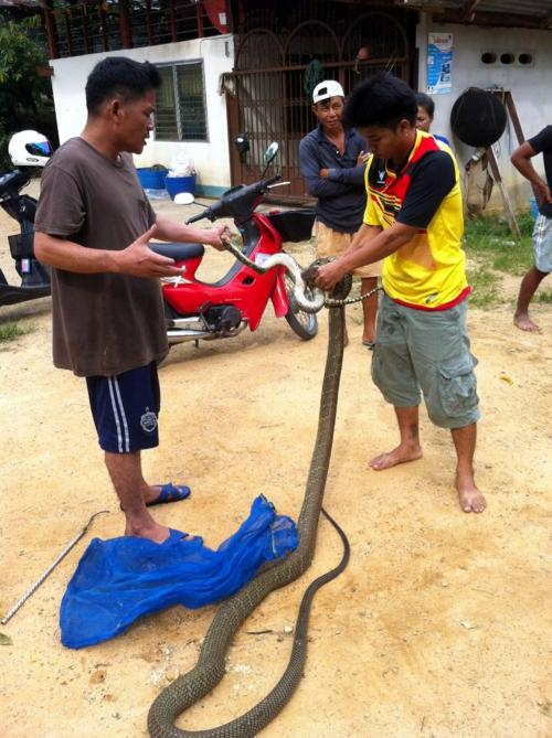 VIDEO REPORT: Phuket king cobra attempts to swallow baby python for breakfast | The Thaiger