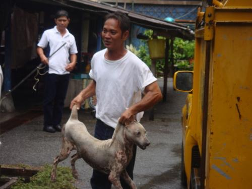 Phuket dog-lovers livid over 'round up strays' policy | The Thaiger