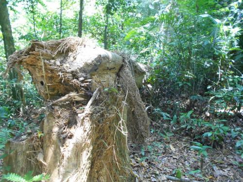 Phuket park rangers to step up patrols to stave off tree bandits | The Thaiger