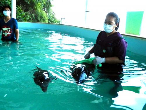 Rescued baby dolphin and mother losing deadly battle at Phuket Marine Biological Center   Thaiger