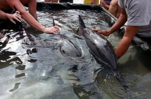 Three beached dolphins treated and released in Phang Nga | Thaiger