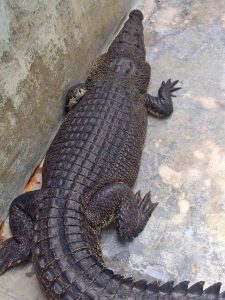 Crocodile being cared for after two day hunt   News by Thaiger