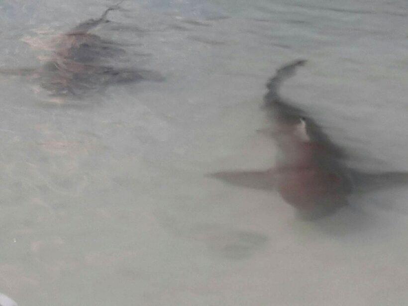 Ten reef sharks found off Phuket | The Thaiger