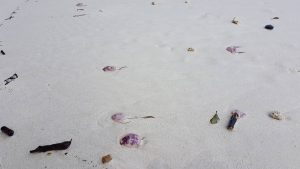 Fire jellyfish washing up on Koh Phi Phi beaches   News by Thaiger
