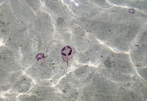 More fire jellyfish found off Krabi | News by Thaiger