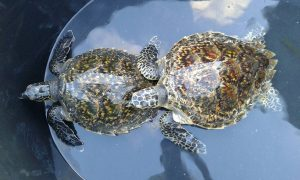 Hawksbill Sea Turtles saved from trawler nets | News by Thaiger
