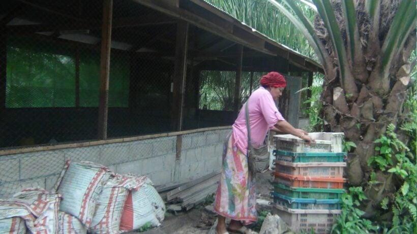 Chicken deaths make Krabi villagers nervous | The Thaiger