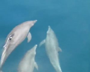 Dolphins spotted between Koh Racha and Phuket   News by Thaiger