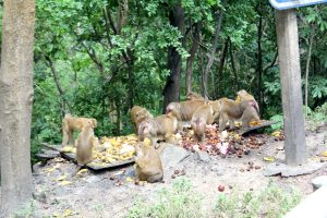Phuket's monkeys being moved to their own island | News by Thaiger