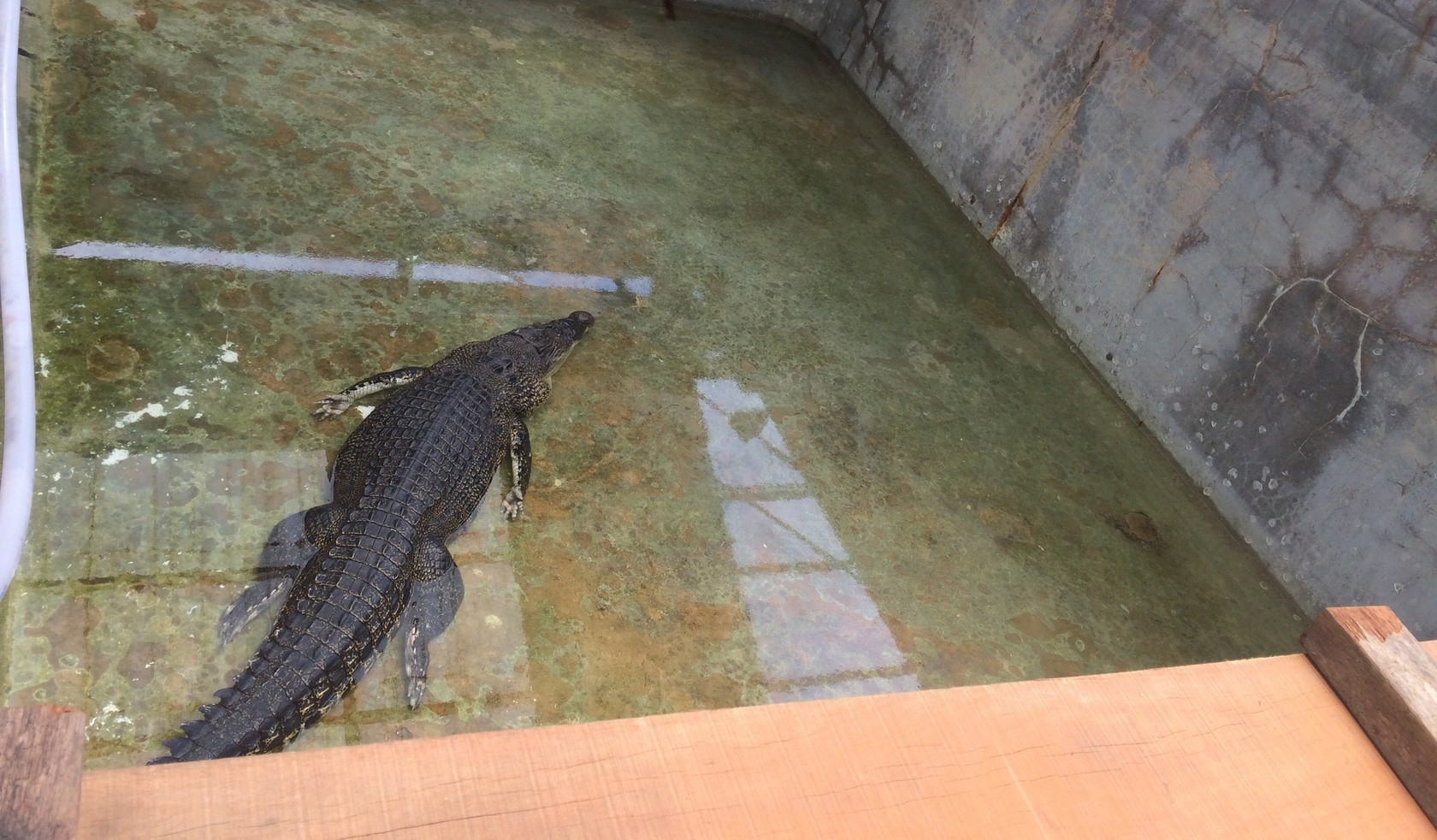 Laypang, Phuket's star croc, has finally started to eat | The Thaiger