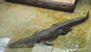 Laypang, Phuket's star croc, has finally started to eat | News by Thaiger