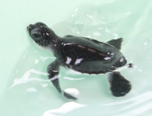 'Boonrod' - the only survivor of the Racha Island turtle hatching | News by Thaiger
