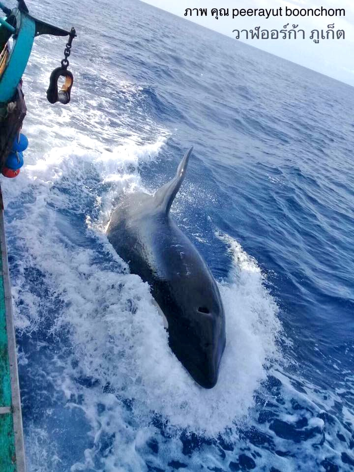 Orca Whale spotted in the seas off Phuket | The Thaiger