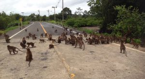 Hundreds of monkeys in Krabi waiting for food on the street   News by Thaiger