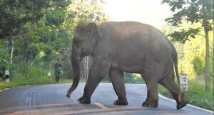 Bull elephant warning in Kanchanaburi   News by Thaiger