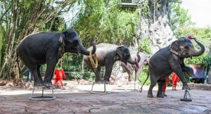 Elephant shows and rides under siege | News by Thaiger