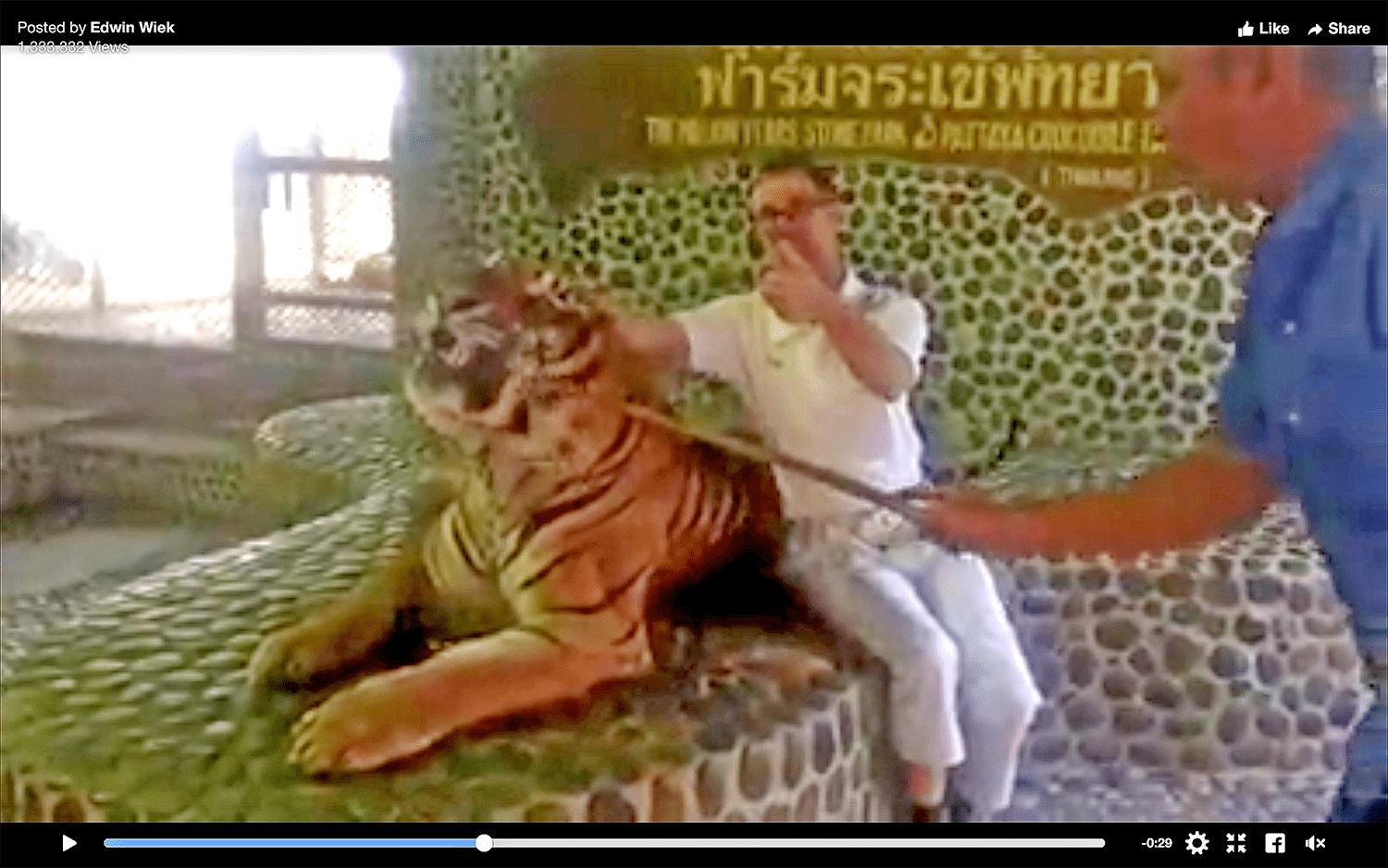 Tiger-poking at a Pattaya Zoo sparks social media outrage | The Thaiger