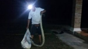 4 metre long python found in goat farm   News by Thaiger