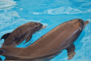 Bottlenose dolphin at Phuket dolphin show gives birth to 'Nattya'   News by Thaiger