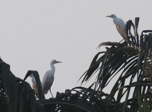More than a thousand herons and egrets visit Krabi during winter   News by Thaiger