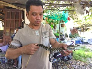Baby crocodile found in Chalong | News by Thaiger